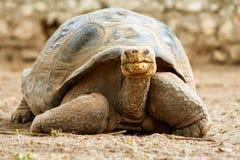 Berömd Galapagos sköldpadda George fotografering för bildbyråer