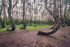 Berömd krokig skog royaltyfria foton