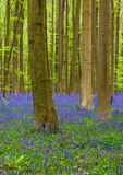 Berömd skog Hallerbos i Bryssel Belgien Royaltyfri Bild