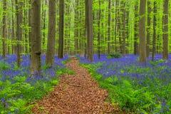 Berömd skog Hallerbos i Bryssel Belgien arkivbilder