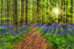 Berömd skog Hallerbos i Bryssel Belgien Fotografering för Bildbyråer