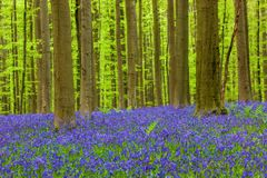 Berömd skog Hallerbos i Bryssel Belgien Royaltyfria Bilder