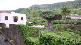 Berömda Drago Tree - Icod de los Vinos, Tenerife, kanariefågelöar arkivfilmer
