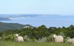 Berühmte australische Schafe. Stockfoto