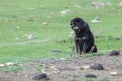 Berühmter tibetanischer Mastiff schützt den Eintritt zum Lager des Nomaden Lizenzfreie Stockbilder