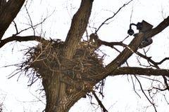 Berühmtes Decorah, Nest Iowas Eagles Stockbild