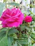 Berühren Sie eine empfindliche Rose lizenzfreies stockfoto