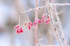 Berbéris couvert de photo de gel de matin prise en octobre Photo libre de droits