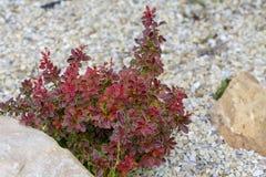 Berbéris de Bush avec les feuilles rouges Élevage d'usine Images stock