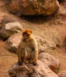 berber πίθηκος Στοκ Φωτογραφίες