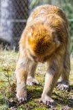 Berber-Affe sucht nach etwas, auf der Wiese zu essen Lizenzfreie Stockfotos