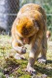 Berber-Affe sucht nach etwas, auf der Wiese zu essen Stockfotografie