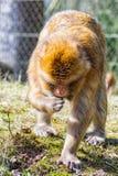 Berber-Affe sucht nach etwas, auf der Wiese zu essen Stockfotos