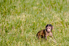 Berber baby monkey Stock Images