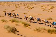 Berber comes with a caravan of camels in the desert Royalty Free Stock Images