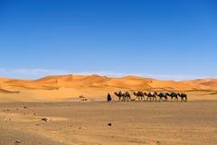 Berber man leading a camel caravan in the Erg Chebbi dunes in Morocco. Stock Photo