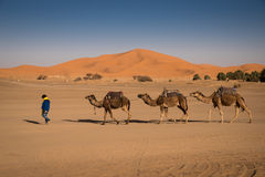 Berber man leading caravan, Hassilabied, Sahara Desert, Morocco Royalty Free Stock Photography