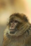 Berber monkey Royalty Free Stock Photos