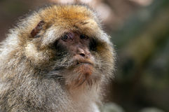 Berber Monkey Stock Photography