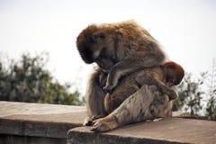Berber monkey with baby Stock Photos