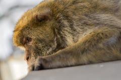 A berber monkey in Gibraltar. A lazy berber monkey in Gibraltar Stock Image