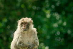 Berber monkey Royalty Free Stock Images