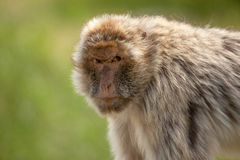Berber monkey Royalty Free Stock Photography