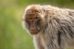 Berber monkey Royalty Free Stock Photography