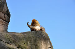 Berber monkey looking for fleas Royalty Free Stock Images
