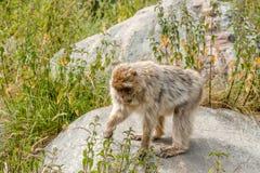 Berber monkey Stock Images