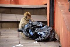 Berber monkey with plastic Royalty Free Stock Photo