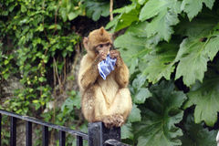 Berber monkey playing with paper Royalty Free Stock Image
