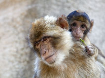 Berber monkey Stock Photo