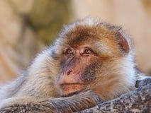Berber Monkey Royalty Free Stock Images