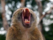 Berber Monkey Royalty Free Stock Image