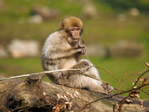 Berber monkey Stock Images