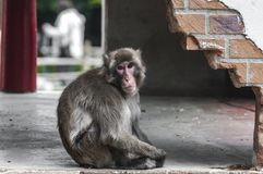 Berber monkey sits on the ground royalty free stock image