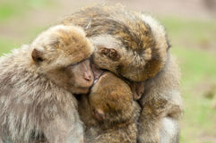 Berber Monkeys Royalty Free Stock Photos
