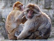 Berber monkeys Royalty Free Stock Photo