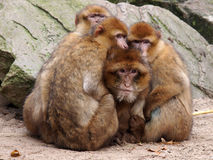 Berber monkeys Stock Image
