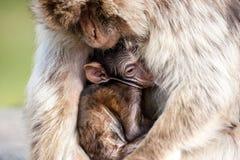 Berber monkeys Royalty Free Stock Photos