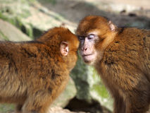 Berber monkeys Stock Photos