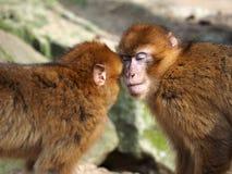 Berber monkeys stock photos