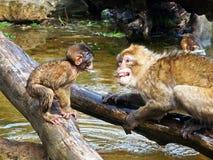 Berber monkeys Stock Photo