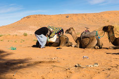 Berber is preparing a caravan in the way. Camel lying on the sand in the Sahara desert, Morocco royalty free stock photo