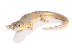 Berber skink Royalty Free Stock Images