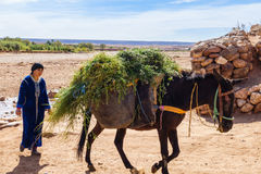 Berber Woman walking behind loaded Mule Royalty Free Stock Photos