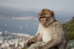 Berber monkey Berberabe, Gibraltar Berber monkey  Royalty Free Stock Photo