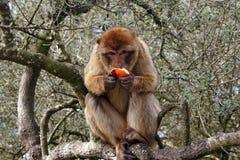 Berberaffe, der Orange isst Lizenzfreie Stockbilder