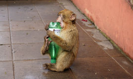 Berberaffe mit Flasche Stockfotos